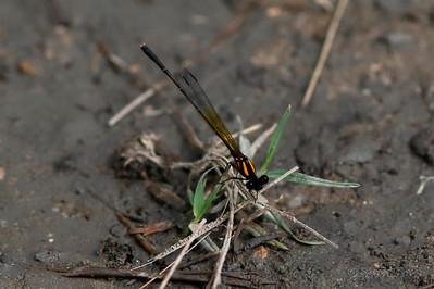 Orange Threadtail