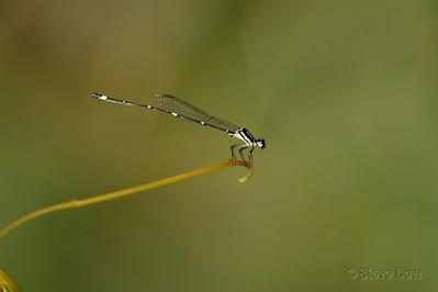 Fivespot Threadtail