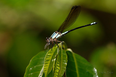 Tropical Rockmaster - Male