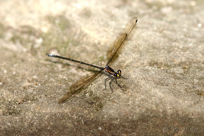 Common Flatwing