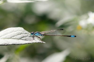 Common Bluetail?