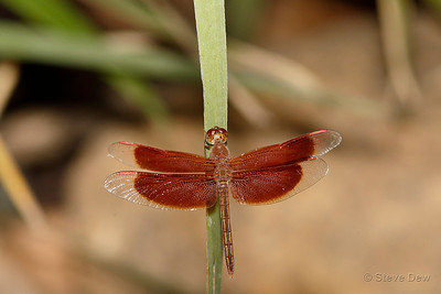 Painted Dancer - Male