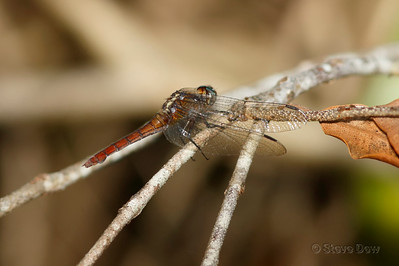 Fiery Skimmer - Female