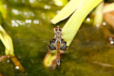 Common Glider - Female