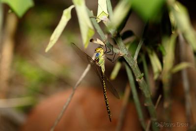 Australian Duskhawker