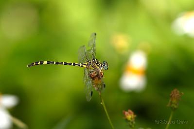 Spinehead Dragon - Female