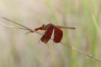 Painted Grasshawk - Male