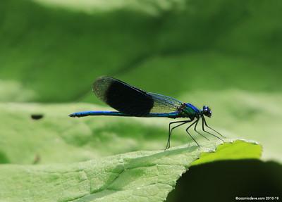 Banded Demoiselle (Calopteryx splendens) male 001