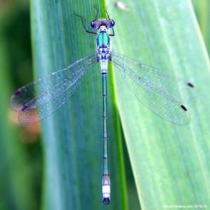 Common Blue Damselfly 018