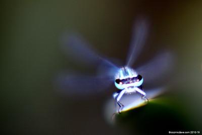 Common Blue Damselfly 008