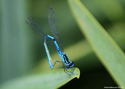 Common Blue Damselfly 014
