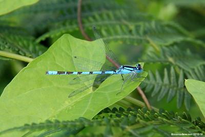 Common Blue Damselfly 015