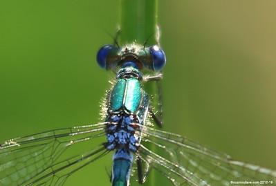 Common Blue Damselfly 017