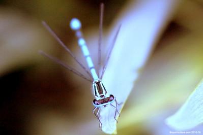 Common Blue Damselfly 004