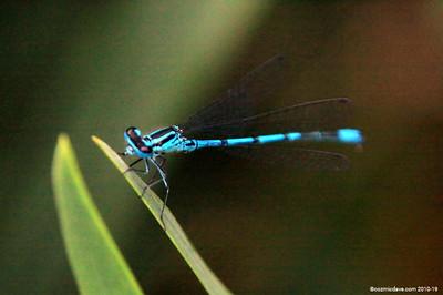 Common Blue Damselfly 001