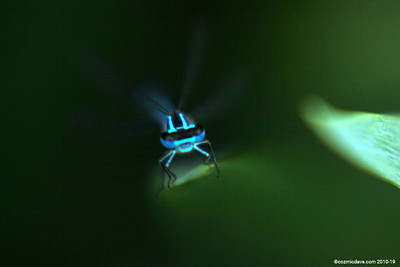 Common Blue Damselfly 009