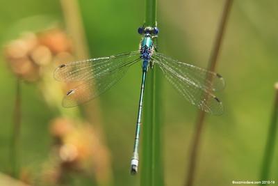 Common Blue Damselfly 021