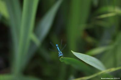 Common Blue Damselfly 003
