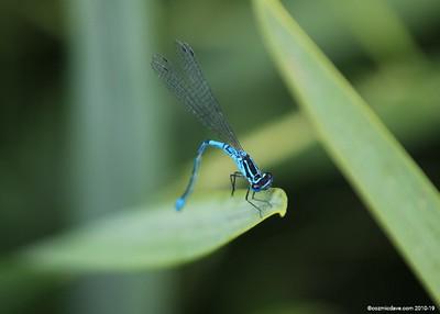 Common Blue Damselfly 013