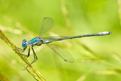 Spreadwing - Emerald - (Lestes dryas ) - Dunning Lake - Itasca County, MN