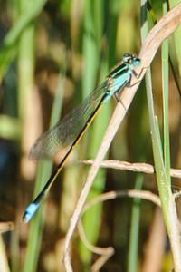 Forktail - Rambur's - (Ischnura ramburii) - Pond Apple Pond Trail - Sanibel Island, FL