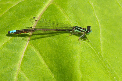 Forktail - Eastern - male - (Ischnura verticalis) - Dunning Lake - Itasca County, MN