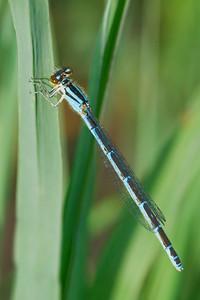 Unidentified Damselfly - (maybe female Hagen's Bluet) - Long Lake Regional Park - New Brighton, MN