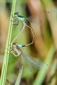 Forktail - Rambur's - (Ischnura ramburii) - mating - Pond Apple Pond Trail - Sanibel Island, FL