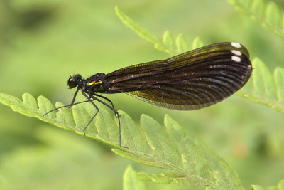 Jewelwing - Ebony - female - (Calopterynx maculata) - Forest Road 158 - Cook County, MN