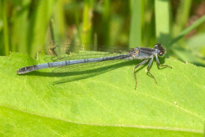 Forktail - Eastern - female - mature - (Ischnura verticalis) - Dunning Lake - Itasca County, MN