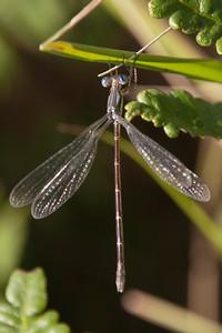 Spreadwing - Slender - (maybe) - (Lestes rectangularis) - Dunning Lake - Itasca County, MN