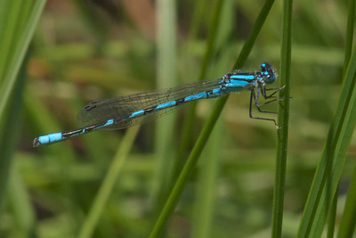 Bluet species - Dunning Lake - Itasca County, MN