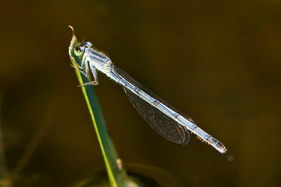 Forktail - Eastern - (Ischnura verticalis) - female - mature - Dunning Lake - Itasca County, MN