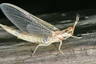 "Taken with my Sigma 150 f/2.8 Macro Lens. ""Mayfly"""