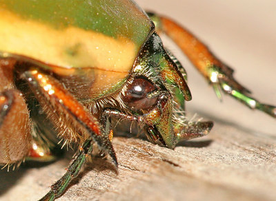 Side view of a Junebug.