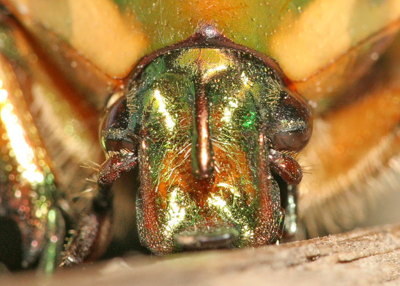 Headshot of a Junebug.