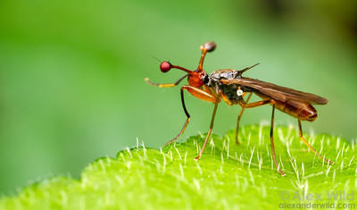 Diopsidae