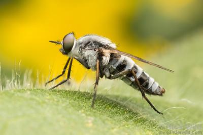 Ozodiceromyia sp.
