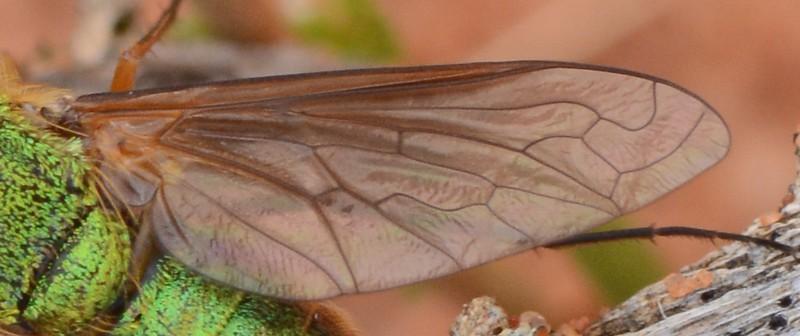 Neosardus vicinus    (approx 8-10mm), Sandy Mallee Habitat