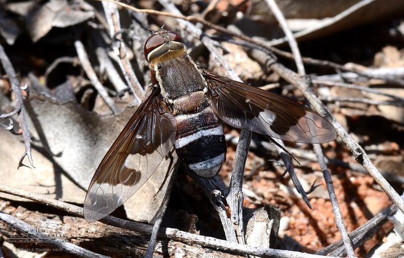 Balaana sp. aff. bicuspis