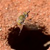 A small (7-10mm) species from an unknown genus shown here hovering above a hole that may have been an ant hole (unsure). The fly would drop and while flying flick sand into the hole. Possibly laying eggs and flicking them into the hole.