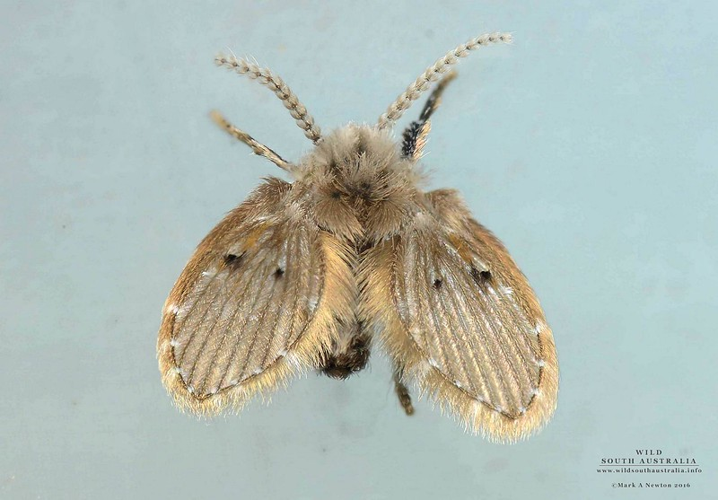 Clogmia albipunctata (Williston, 1893)