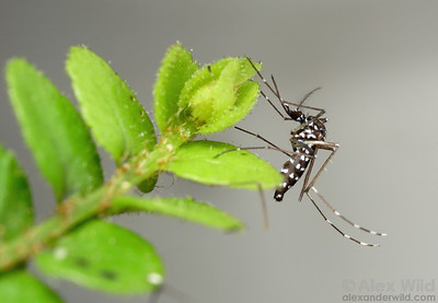 Aedes albopictus Asian Tiger Mosquito.  Florida.  filename: albopictus1