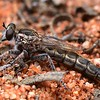 Bathypogon sp (short-winged Robber fly)