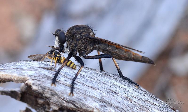 Mauropteron pelago with Cerceris sp (Crabronidae) wasp prey