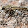 Bathypogon chionthrix