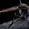 Mauropteron pelago with prey