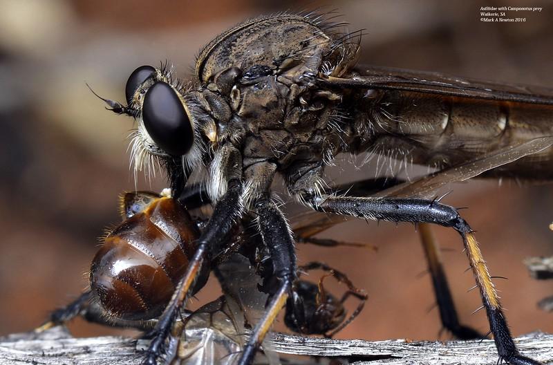 Mauropteron pelago with Camponotus sp prey