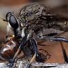 Neoscleropogon sp with Camponotus sp prey