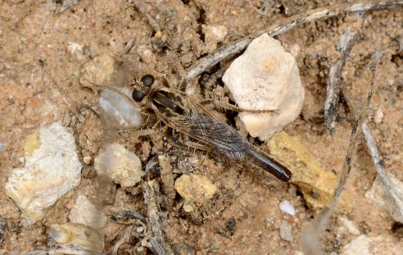 Bathypogon sp (short-winged Robber fly)
